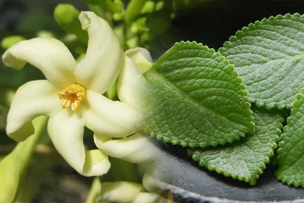 Hoa đu đủ đực và húng chanh dứt điểm ho dai dẳng