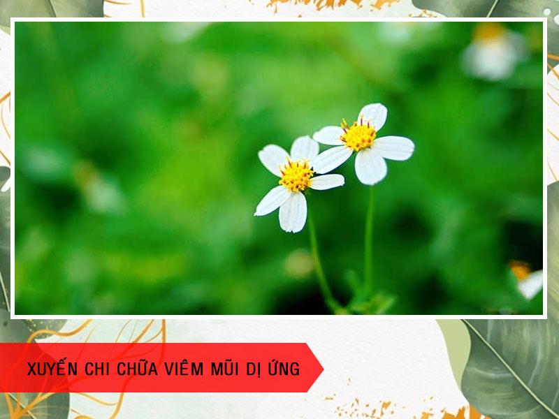 Cách chữa viêm mũi dị ứng bằng hoa xuyến chi